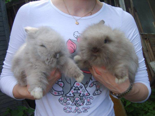 Кролики породы Ангорский лев