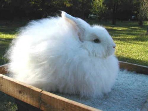 Кролик породы Ангорский пуховый