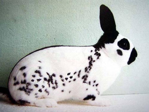 Декоративный кролик породы Карликовая бабочка