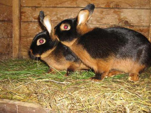 Парочка кроликов породы Черно - бурый