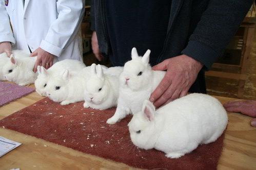 Образцовые гермелины, которых также называют польскими кроликами
