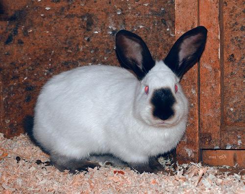 Порода кроликов Русский горностаевый