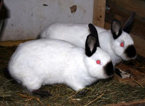 Кролики породы Калифорнийский