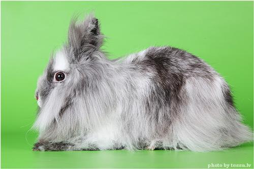 Кролики породы Львиная головка
