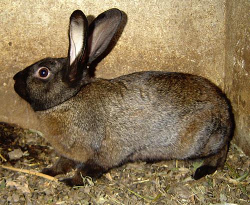 Кроличья порода Советский мардер