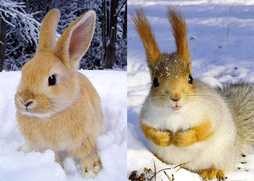 Декоративный кролик породы Белка очень похож на настоящую белку