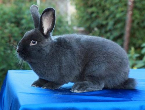 Кролик красавец породы Венский голубой