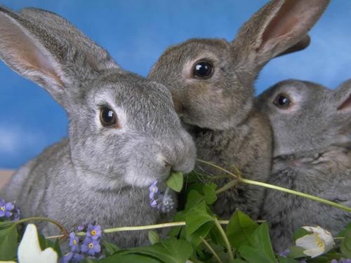 Все половозрелые кролики готовы к спариванию