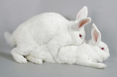 Сам процесс спаривания кроликов