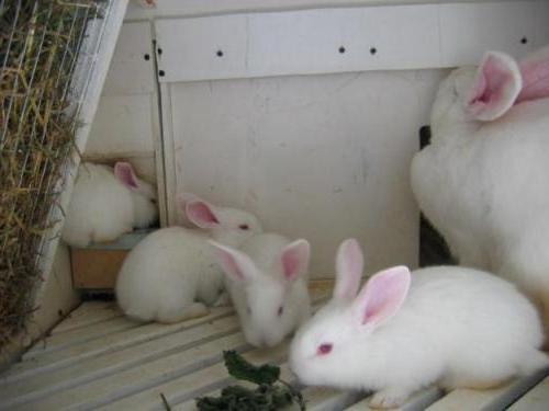Крольчиха породы Белый великан с крольчатами в миниферме Михайлова