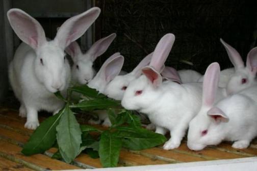 Семейство Белых Великанов поедает листья
