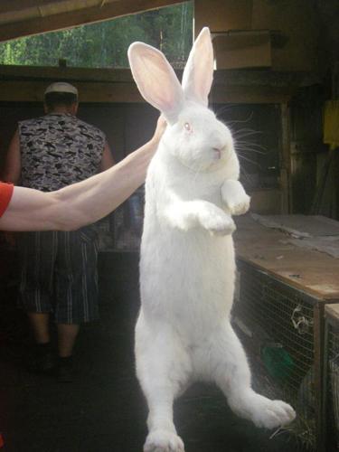 Вот какой красавец - кролик белый гигант
