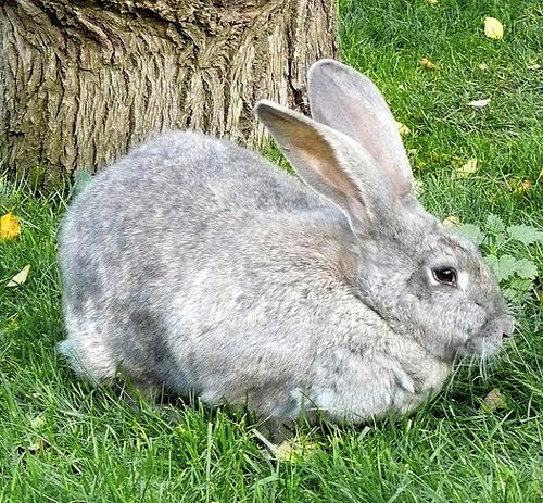 Пушистый серый красавец отдыхает на зеленой травке, под теплым солнышком