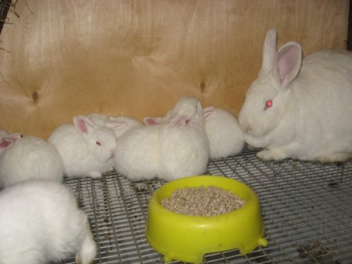 Крольчиха альбинос с крольчатами
