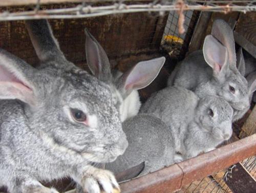 1,5 месячные кролики породы Серые Великаны в ожидание чуда – кормления
