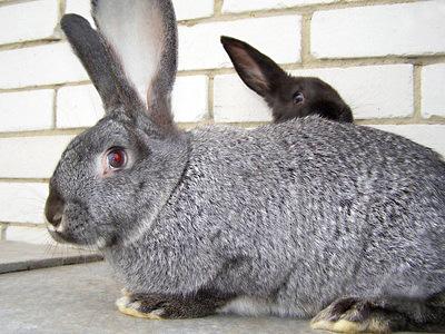 Кролик Серый Великан с другом, которому не видно за большим зайцем, но он все-таки пытается увидеть что-то