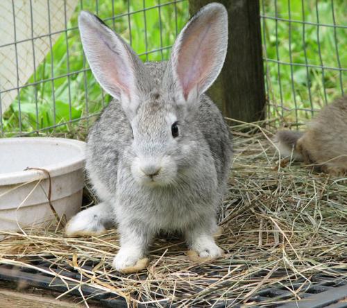 Маленький крольчонок явно чем-то заинтересовался, возможно, кормом или новым другом, об этом знает только этот малыш