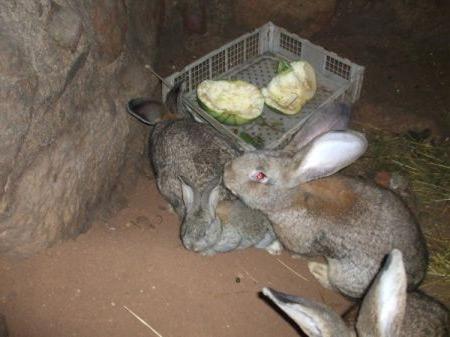 Семейство кроликов кушает еду