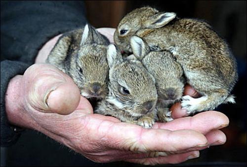 Полумесячные крольчата на руках кроликовода